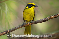 Helmeted Honeyeater photo