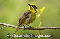 Helmeted Honeyeater Lichenostomus melanops cassidix Photo - Gary Bell