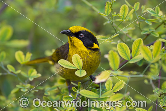 Helmeted Honeyeater (Lichenostomus melanops cassidix). Found in swamp-gum woodlands with melaleuca and tee-trea undergrowth in Victoria and south-eastern New South Wales, Australia. Classified as Critically Endangered. Photo - Gary Bell