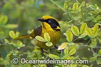 Helmeted Honeyeater Photo - Gary Bell