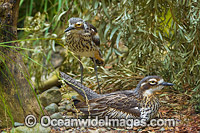 Brush Stone-curlew Photo - Gary Bell