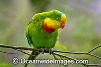 Superb Parrot Australia Photo - Gary Bell