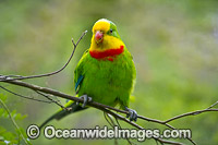 Superb Parrot Photo - Gary Bell