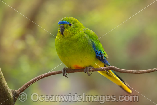 Orange-bellied Parrot (Neophema chrysogaster). Found around buttongrass and swampy sedgeland plains in SW Tasmania, Sth coast of Victoria and SE South Australia, Australia. Classified as Critically Endangered with numbers declining. Photo - Gary Bell