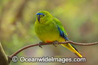 Orange-bellied Parrot Photo - Gary Bell