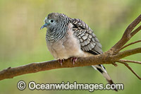 Peaceful Dove Geopelia placida Photo - Gary Bell