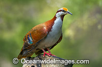 Brush Bronzewing Photo - Gary Bell