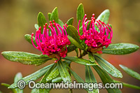 Tasmanian Waratah Flower Photo - Gary Bell
