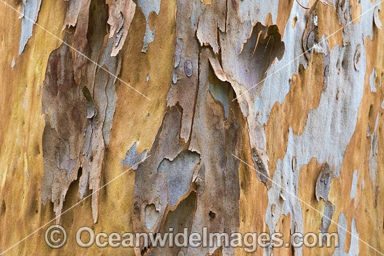 Gum Tree (Eucalyptus sp.) bark, showing spectacular design in nature. Photo taken in Coffs Harbour, New South Wales, Australia. Photo - Gary Bell