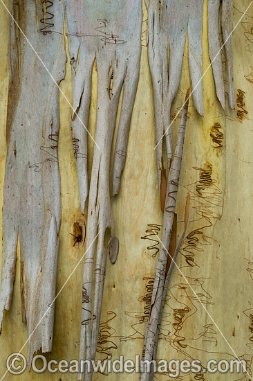 Scribbly Gum (Eucalyptus haemastoma), showing spectacular design in nature. Photo taken in Coffs Harbour, New South Wales, Australia. Photo - Gary Bell