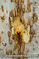 Scribbly Gum bark Photo - Gary Bell