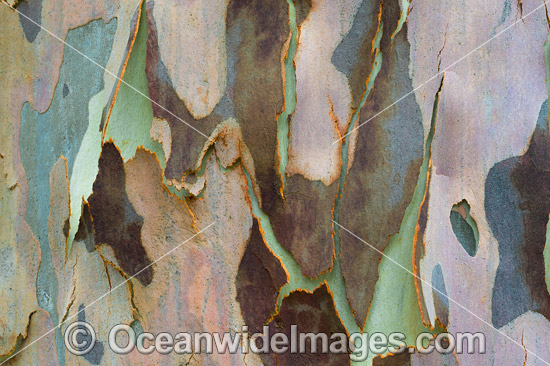 Spotted Gum (Corymbia maculata) bark, showing spectacular design in nature. Photo was taken in Spotted Guim Forest, Bermagui, New South Wales, Australia. Photo - Gary Bell
