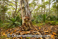 Spotted Gum forest image