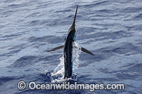 White Marlin Kajikia albidus photo