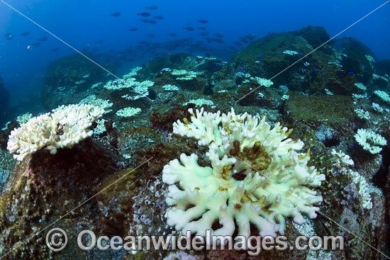 Mass Coral Bleaching (Pocillopora sp.) at the Solitary Islands Marine Sanctuary, Coffs Harbour, New South Wales, Australia. Photo taken March 25, 2016. Photo - Gary Bell