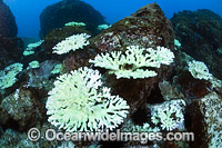 Mass Coral Bleaching photo