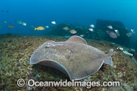 Coffin Ray Photo - Gary Bell