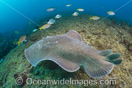 Coffin Ray (Hypnos monopterygium). Also known as Electric Ray, Crampfish, Numbfish, Short-tail Electric Ray and Torpedo Ray. New South Wales, Australia. This ray is capable of delivering a strong electric shock and uses its electric organs to stun prey. Photo - Gary Bell