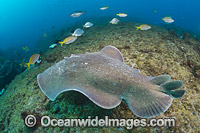 Coffin Ray photo