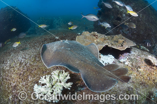 Coffin Ray (Hypnos monopterygium). Also known as Electric Ray, Crampfish, Numbfish, Short-tail Electric Ray and Torpedo Ray. New South Wales, Australia. This ray is capable of delivering a strong electric shock and uses its electric organs to stun prey.