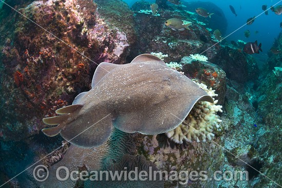 Electric Ray photo