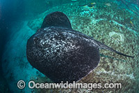 Blotched Fantail Ray photo