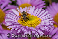 Honey Bee on Daisy Photo - Gary Bell