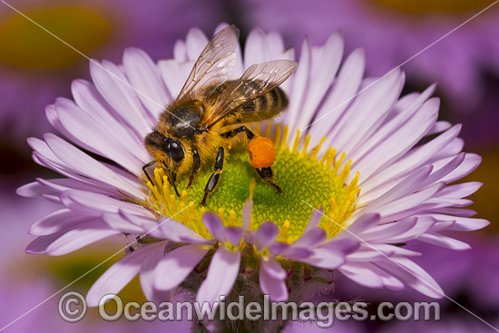 Honey Bee (Apis Mellifera), collecting pollen from a Daisy Flower. Clearly seen is the pollen basket or corbicula as part of the tibia on the hind legs sacks. Tasmania, Australia. Photo - Gary Bell