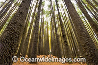 Sugar Pine Forest Photo - Gary Bell