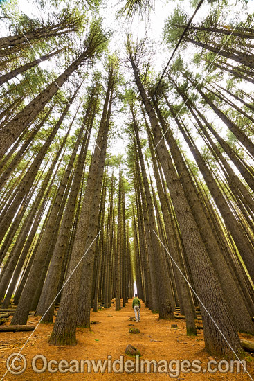 Sugar Pine Forest  (Pinus lambertiana), planted in 1928 at the Bago State Forest. Laurel Hill, New South Wales, Australia. Photo - Gary Bell