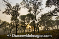 Eucalypt forest at sunrise Photo - Gary Bell