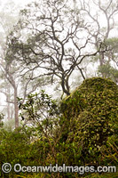 Snow Gums forest in mist Photo - Gary Bell