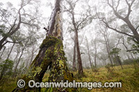 Snow Gums in Gondwana Rainforest Photo - Gary Bell