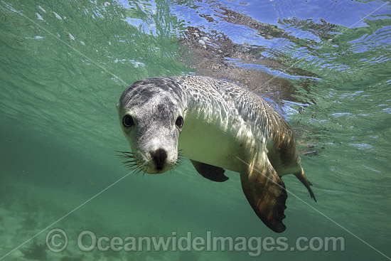 Australian Sea Lions (Neophoca cinerea), swimming and playing in the shallows of Hopkins Island, South Australia. Classified Endangered on the IUCN Red List.