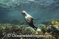 Sea Lion Hopkins Island photo