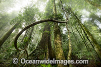 Dorrigo National Park rainforest Photo - Gary Bell