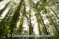 Rainforest in mist photo