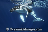 Humpback Whale underwater Photo - Vanessa Mignon