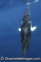 Minke Whale photo