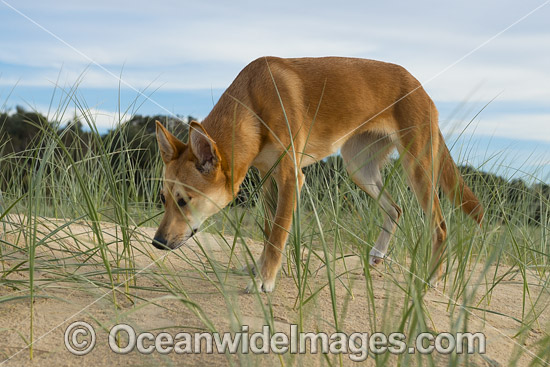 Dingo (Canus lupus dingo), a wild dog found throughout Australia in deserts, grasslands and the edges of forests. The dingo is the largest terrestrial predator in Australia and classified as Vulnerable on the IUCN List of Endangered Species. Photo - Gary Bell