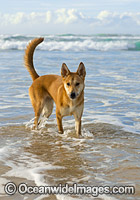 Dingo Canus dingo photo
