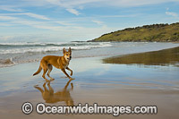 Australian Dingo Photo - Gary Bell