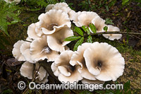 Rainforest Fungi Dorrigo Photo - Gary Bell