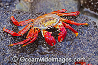 Sally Lightfoot Crab Photo - David Fleetham