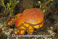 Spanner Crab Photo - David Fleetham