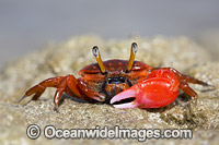 Fiddler Crab Photo - David Fleetham