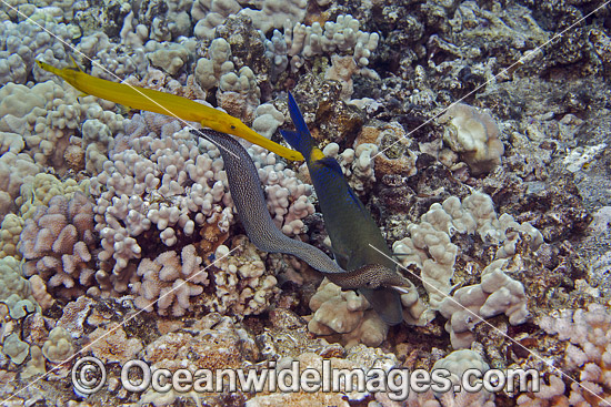 Blue Goatfish (Parupeneus cyclostomus), Trumpetfish (Aulostomus chinensis) and Whitemouth Moray eel (Gymnothorax meleagris), all working together to flush out small fish to prey on. Hawaii, Pacific Ocean, USA.