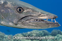 Great Barracuda photo