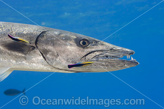 Great Barracuda and Hawaiian Cleaner Wrasse photo