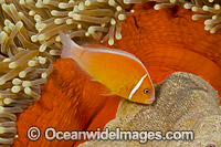 Pink Anemonefish with eggs Photo - David Fleetham